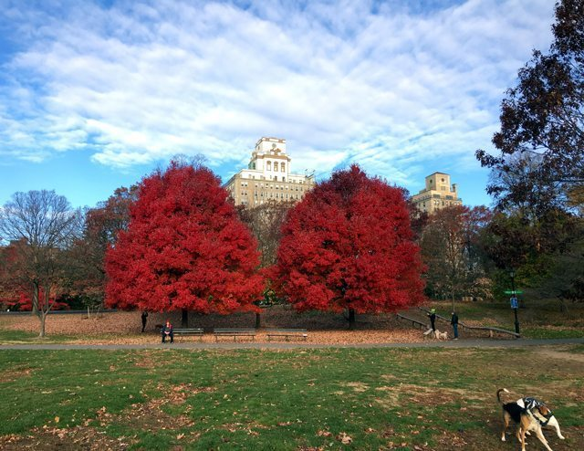 Photo of two red trees in a park
