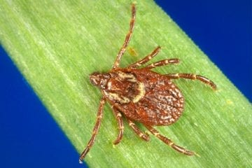 Close-up of dog tick.