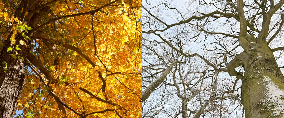 A tree with golden leaves and a tree without leaves