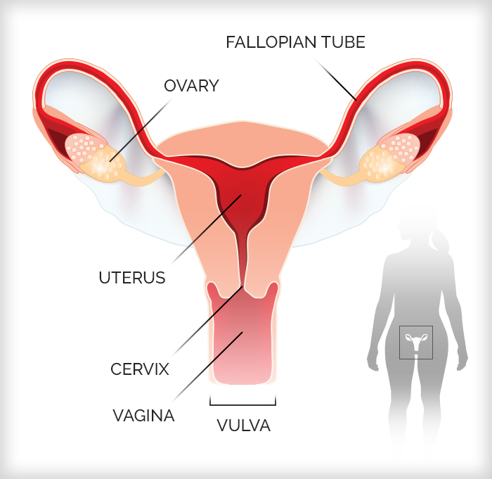 Infographic of the female reproductive system