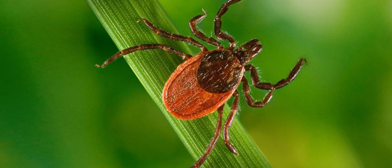 Tick-Borne Diseases vs. COVID-19: How to Tell the Difference